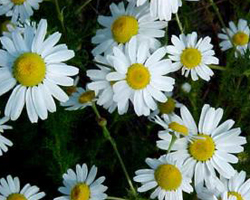 Chamomile flower tea the chamomile plant is one that many are familiar with known for its small white flowers that bare a bright yellow center for centuries these flowers mightylinksfo Gallery